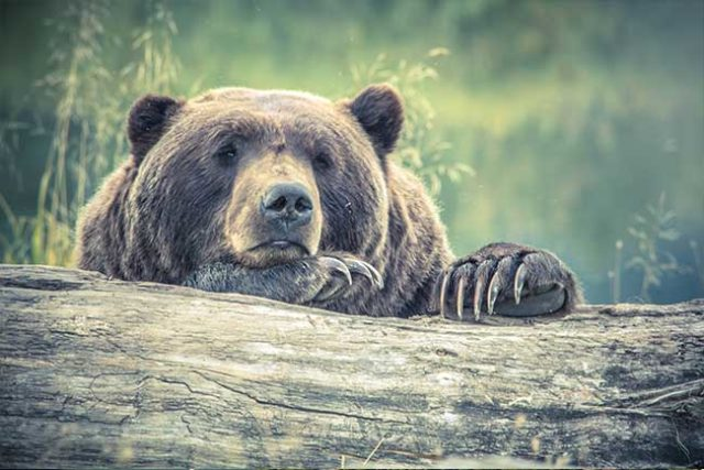 Grizzly Bear Moping