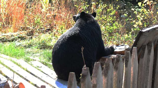 Black Bear Sunning Himself on a Stump